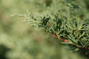 cyprus-pine.jpg