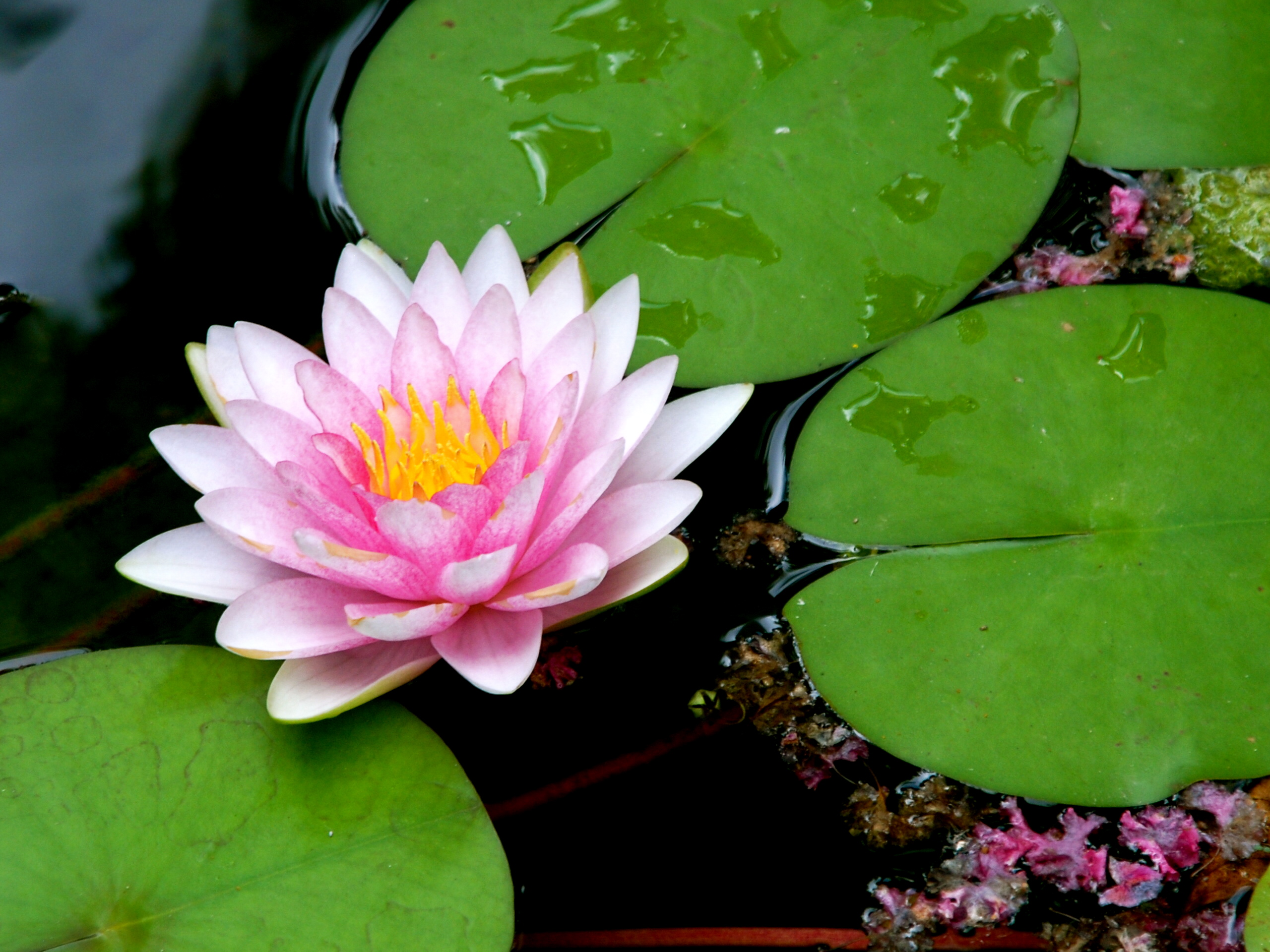 Repristination and lily pads ever increasing light one of our lily pads izmirmasajfo
